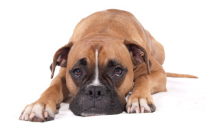 stockvault-boxer-dog-lying-down131801
