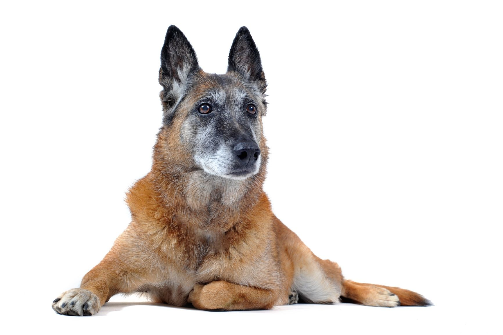 old purebred belgian sheepdog malinois laid down in front of white background