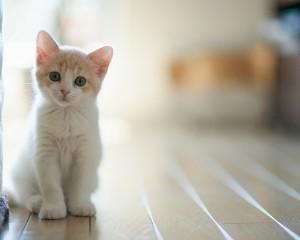 7036986-white-cat
